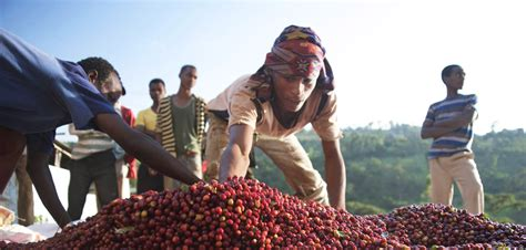 Ethiopian Coffee - Trabocca | In pursuit of great coffee